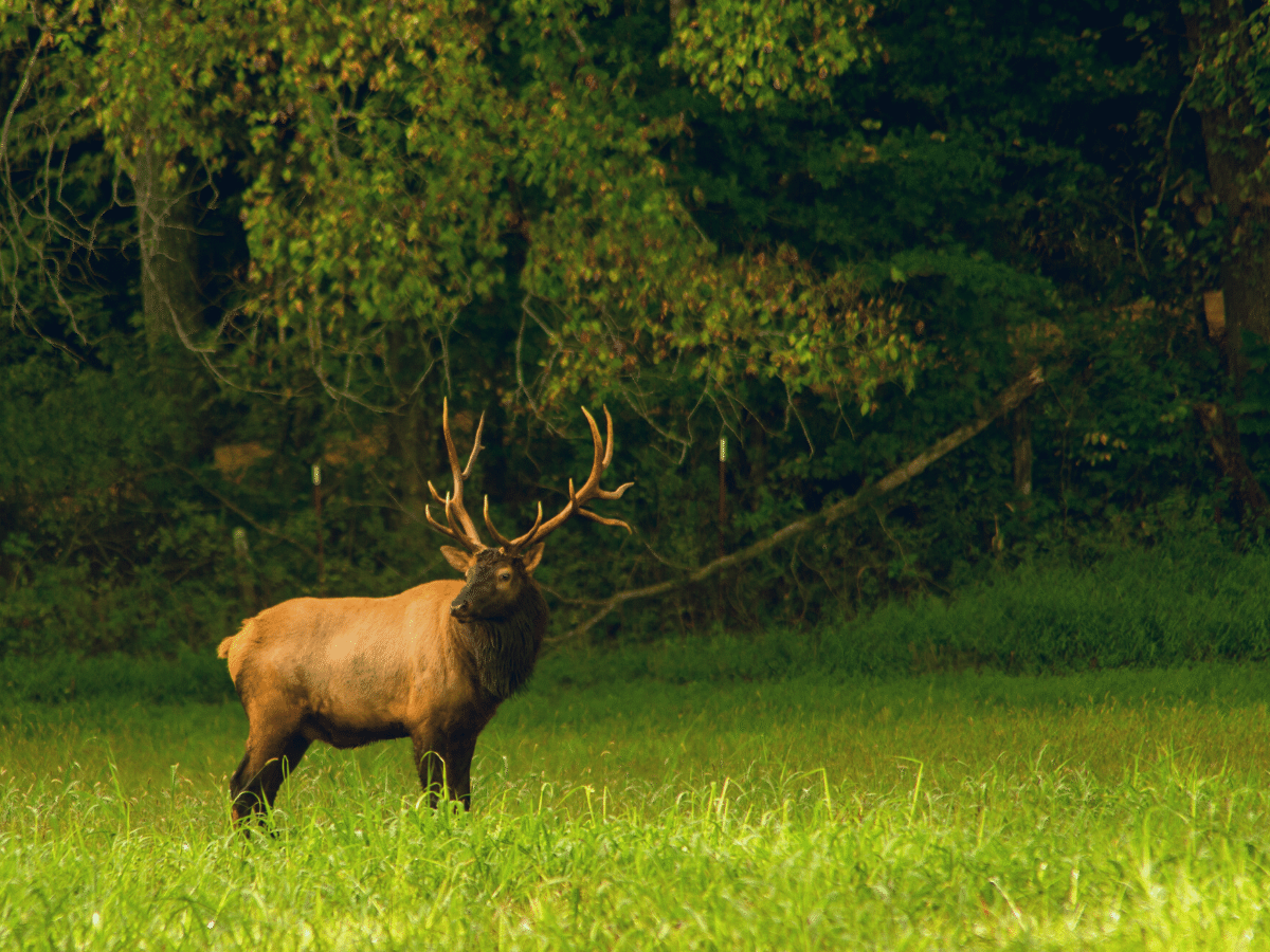 An elk looks off into the distance against a backdrop of lush green foliage