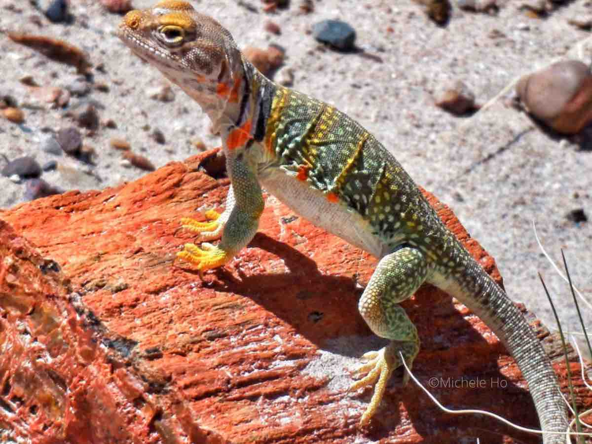 colorful reptile sits on a piece of petrified wood in the desert
